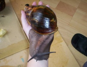 Top 10 Unusual Pets - African Land Snail