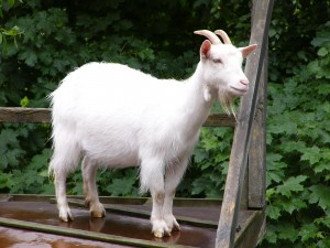 Top 10 Unusual Pets - Goats