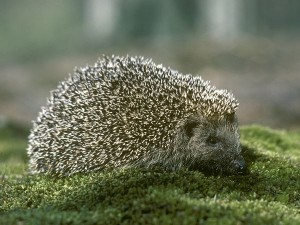 Top 10 Unusual Pets - Hedgehog