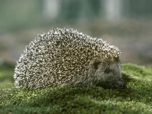 Top 10 Unusual Pets - Hedgehog