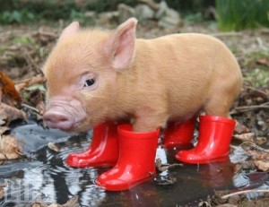 Top 10 Unusual Pets - Micro Pig