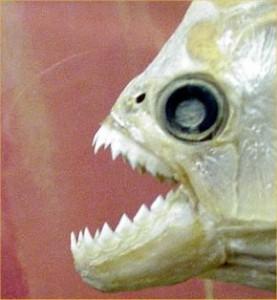 Top 10 Unusual Pets - Piranha