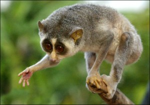 Top 10 Unusual Pets - Slow Loris