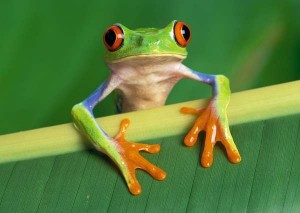 Top 10 Unusual Pets - Tree Frog