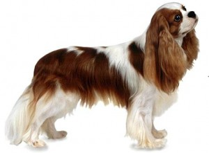 Top 10 Dog Breeds - King Charles Spaniel