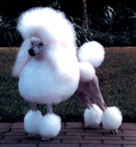 Top 10 Dog Breeds - Poodles