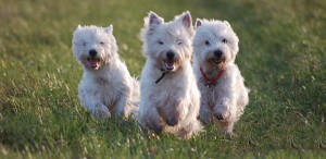 Top 10 Dog Breeds - Westies