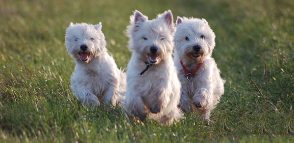 Top 10 Dog Breeds – Westies