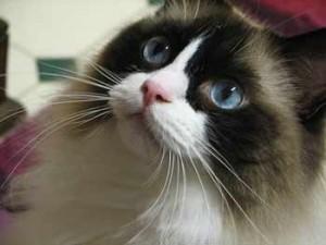 Top 10 Cat Breeds - Ragdoll