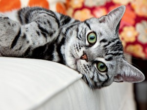 Top 10 Cat Breeds - American Shorthair