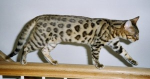 Top 10 Cat Breeds - Bengal