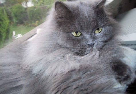 himalayans cat Himalayans are generally placid, home-loving cats, however, some can be  demanding they are not scared of strangers and can be easily stolen as they  are.