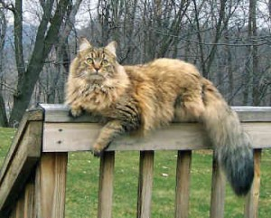Top 10 Cat Breeds - Maine Coon