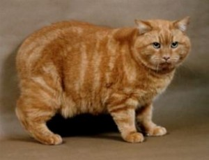 Top 10 Cat Breeds - Manx