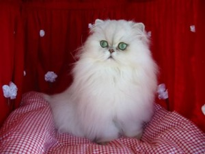 Top 10 Cat Breeds - Persian