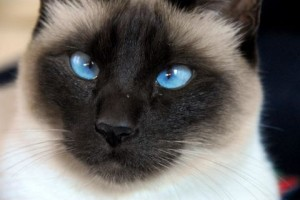 Top 10 Cat Breeds - Siamese Cat