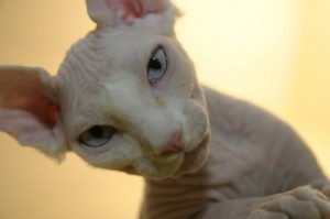Top 10 Cat Breeds - Sphynx