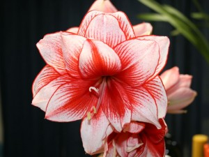 Top 10 Plants To Grow - Amaryllis