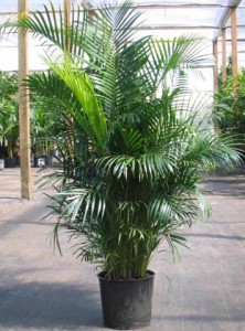 Top 10 Plants To Grow - Areca Palm