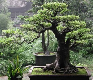 Top 10 Plants To Grow - Bonsai Tree