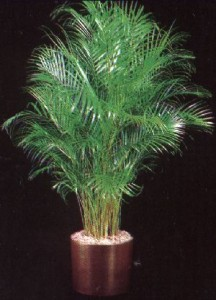 Top 10 Plants To Grow - Chamaedorea Palm