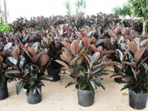 Top 10 Plants To Grow - Rubber Plant